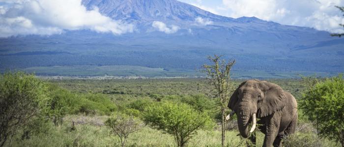 Elefant Amboseli