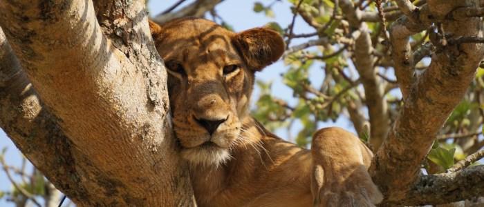 Loins on the tree meinewelt-reisen