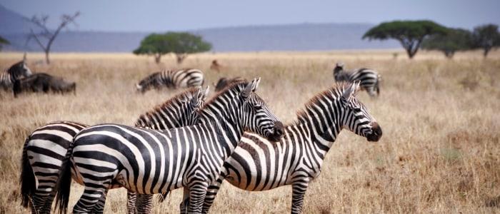Zebras_Meine Welt Reisen