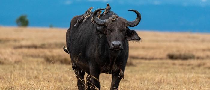 Büffel im Samburu Reserve meinewelt-reisen