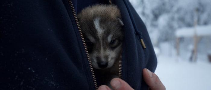 husky-baby-schweden-lappland.JPG
