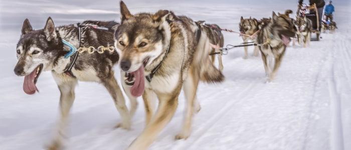 huskys-wildnis-finnland.jpg