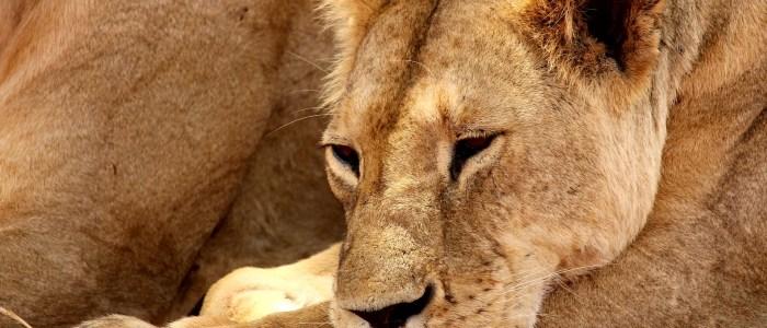 lion-tsavo-west-meinewelt-reisen.jpg