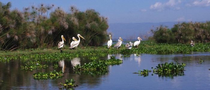 pelikane lake naivasha klein.jpg