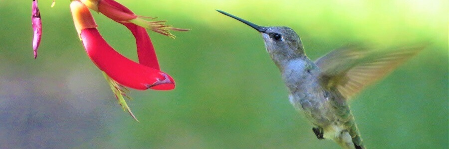 Costa Rica_Kolibri_hummingbird_GeorgeB2.jpg