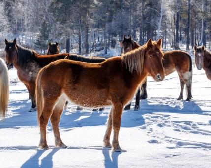 Russland_Pferde_Winter