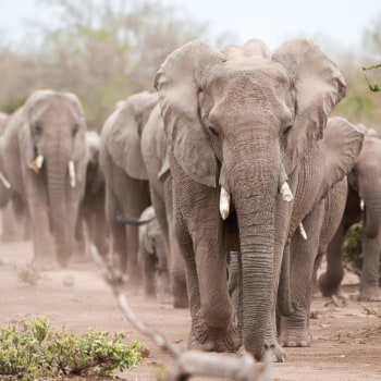Mala Mala & Mashatu Flugsafari
