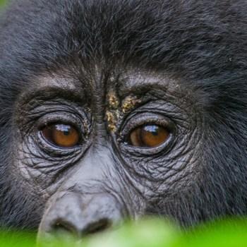 Gorillas im Volcanoes Nationalpark