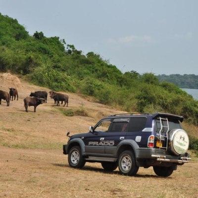 Selbstfahrer zu Schimpansen und Berggorillas