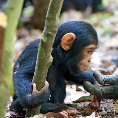 Schimpansen im Mahale Mountain Nationalpark