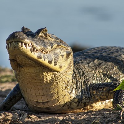 Amazonas und Pantanal Reise
