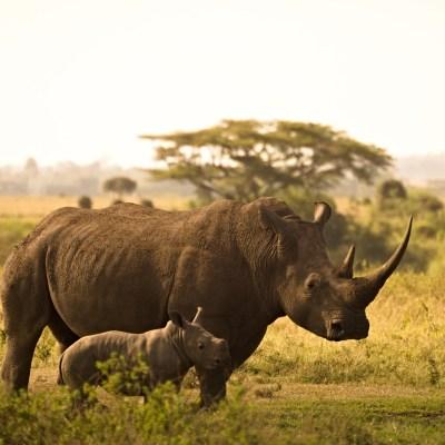 Die Nashörner von Solio