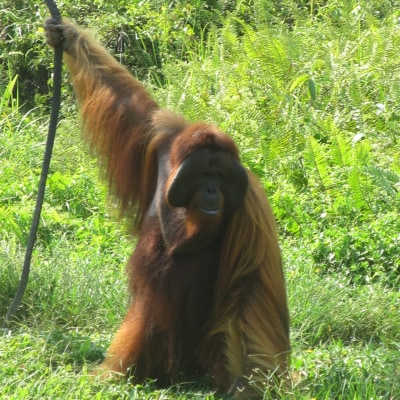 Borneo - Orang Utan Tour und Samboja Lodge