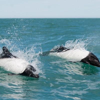 8 Tage Orca Safari im Süden Patagoniens