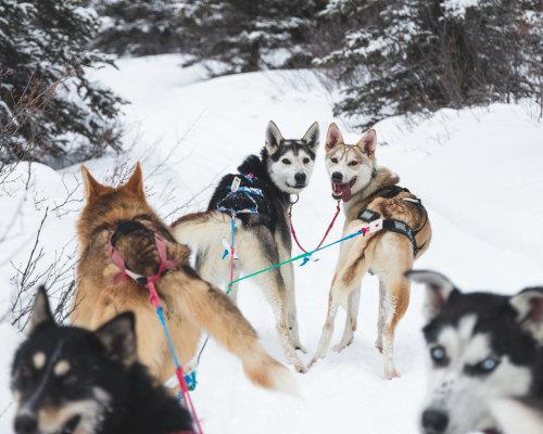 Hundeschlitten Kanada