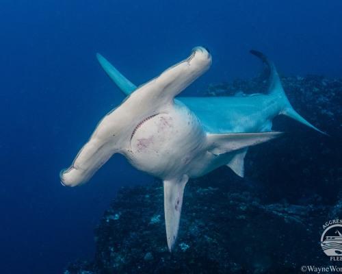 Cocos Island Tauchsafari - Tauchertraum 2021