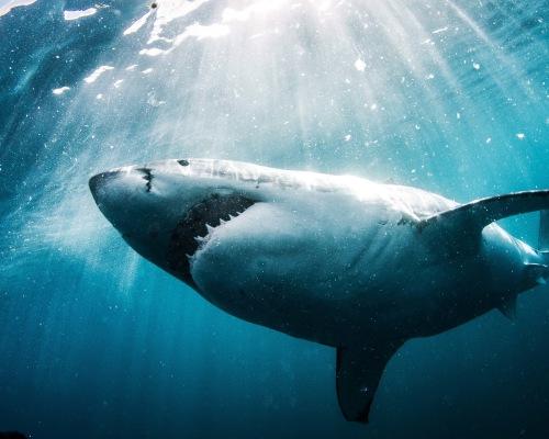 Shark Explorers Simons Town