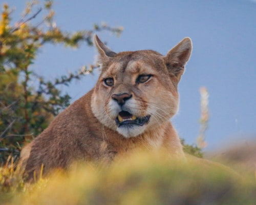 Puma Fotosafari in Patagonien im Torres del Peine