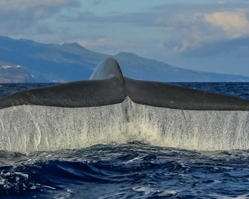 Die Riesen der Meere - Walbeobachtungen auf den Azoren