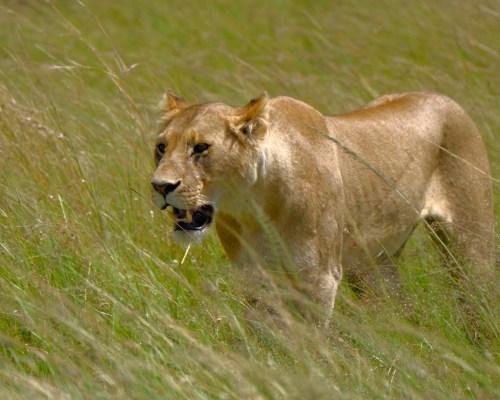 Fotoreise Kenia Schwerpunkt Raubkatzenfotografie
