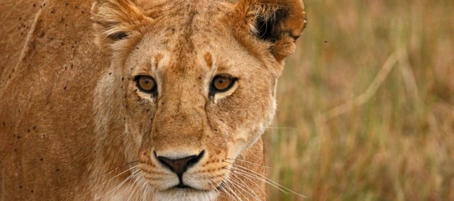 Löwe Tsavo Kenia Safari