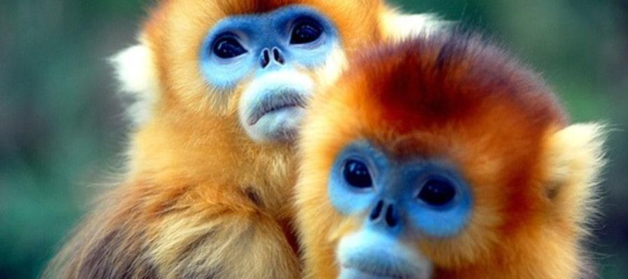 7-golden-monkey-meinewelt-reisen.jpg