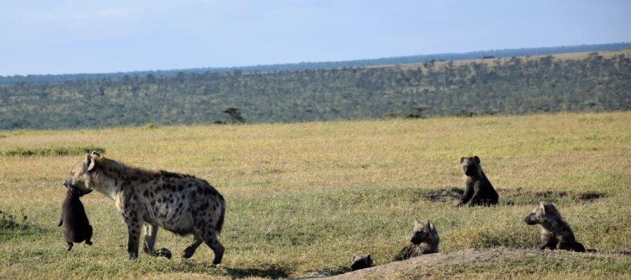 Tüpfelhyänen bei der Safari
