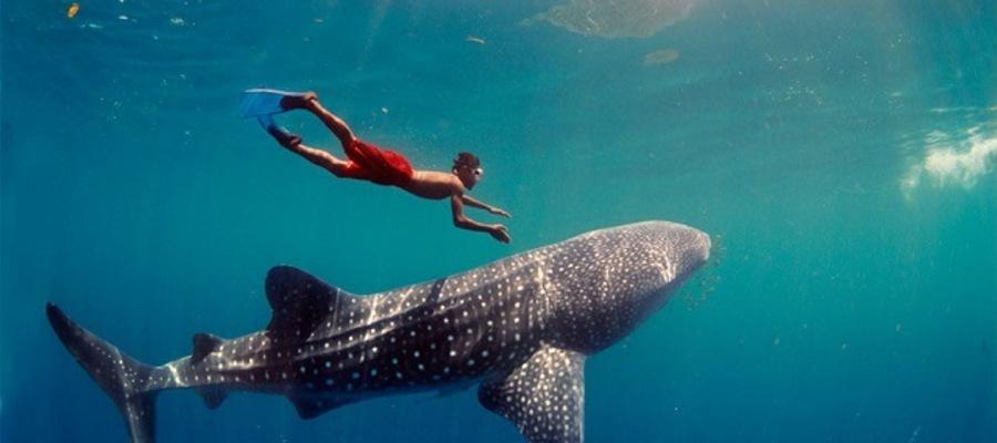 Djibuti_whale sharks.jpg