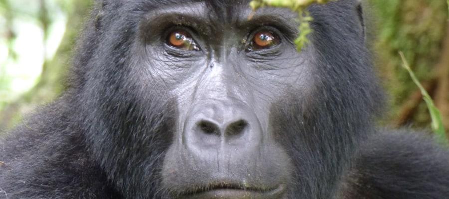 Silberruecken-uganda-meinewelt-reisen
