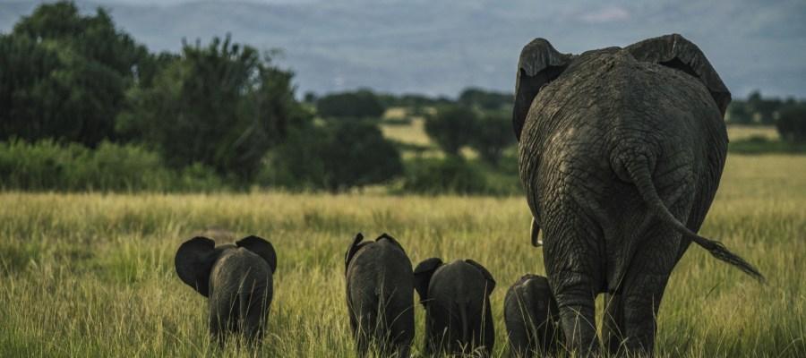 UG elephant