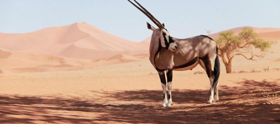 allgem oryx in der Wüste