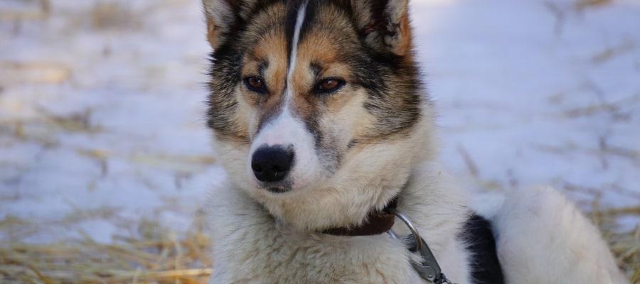 huskytour-finnland-lappland