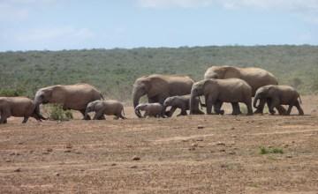Elefantenherde_dein_Suedafrika_presseportal.JPG