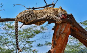 Namibia Okonjima game reserve leopard_Fotolia_167486091_XS.jpg