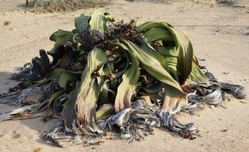 Welwitschia Fotolia_134738237_XS.jpg