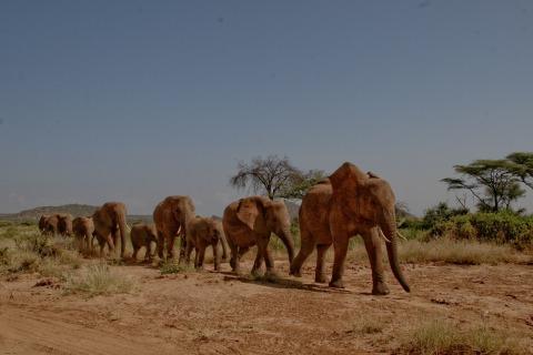 Elefantenherde Kenia