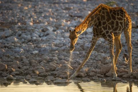 Giraffe am Okaukuejo Wasserloch