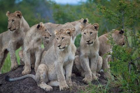 Löwen im Madikwe Reservat