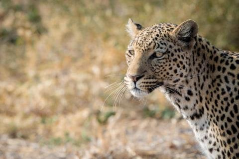 Savuti Leopard