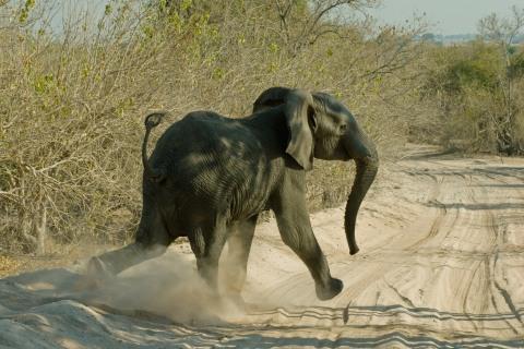 Elefant in Chobe