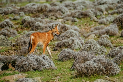 Äthiopische Wolf in den Bale Mountains