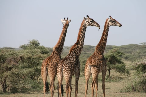 Giraffen Tansania
