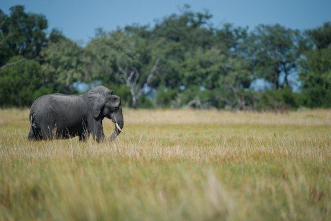Elefant im Moremi Nationalpark
