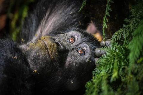 Gorilla Trecking
