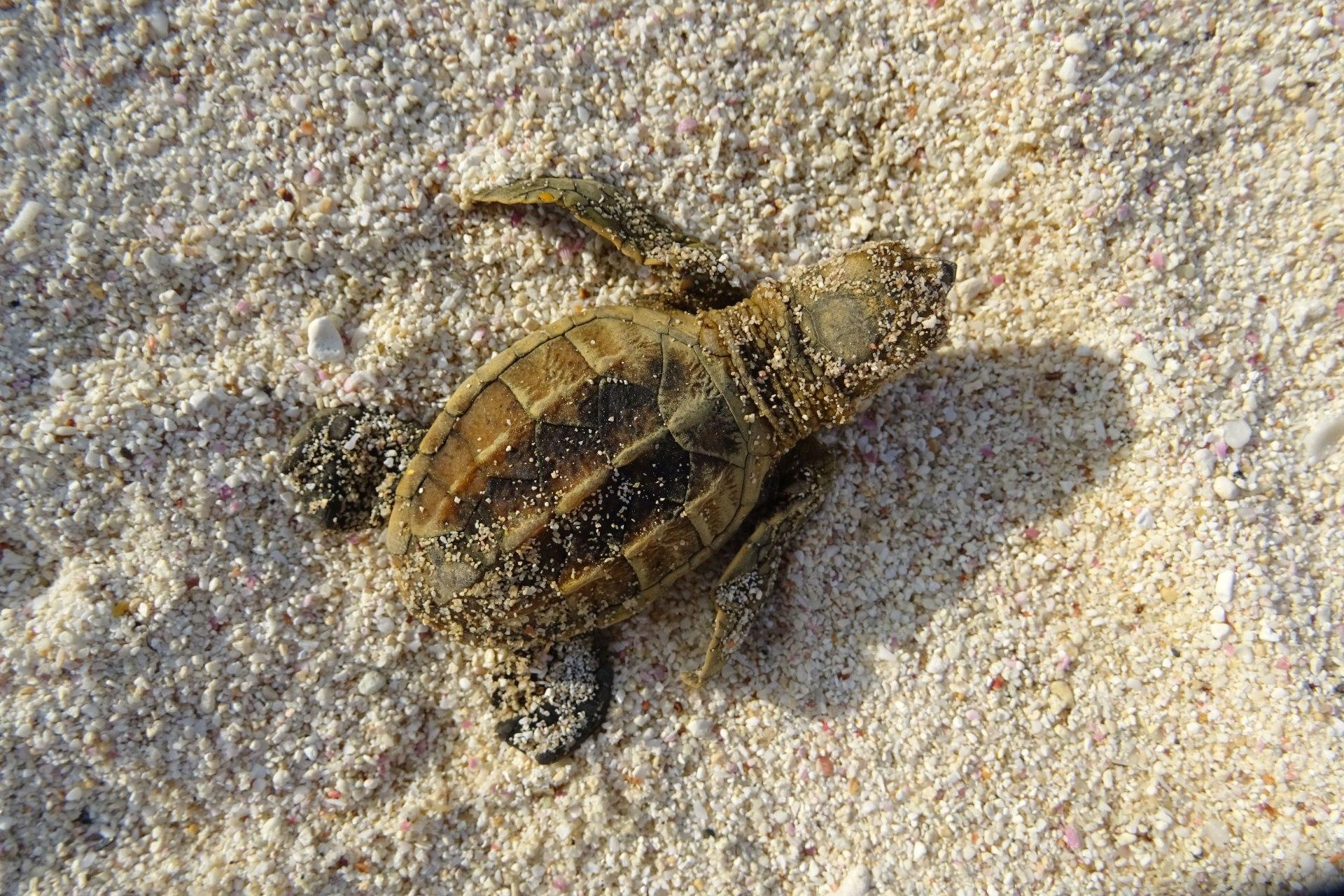 Schlüpfen der Schildkröten