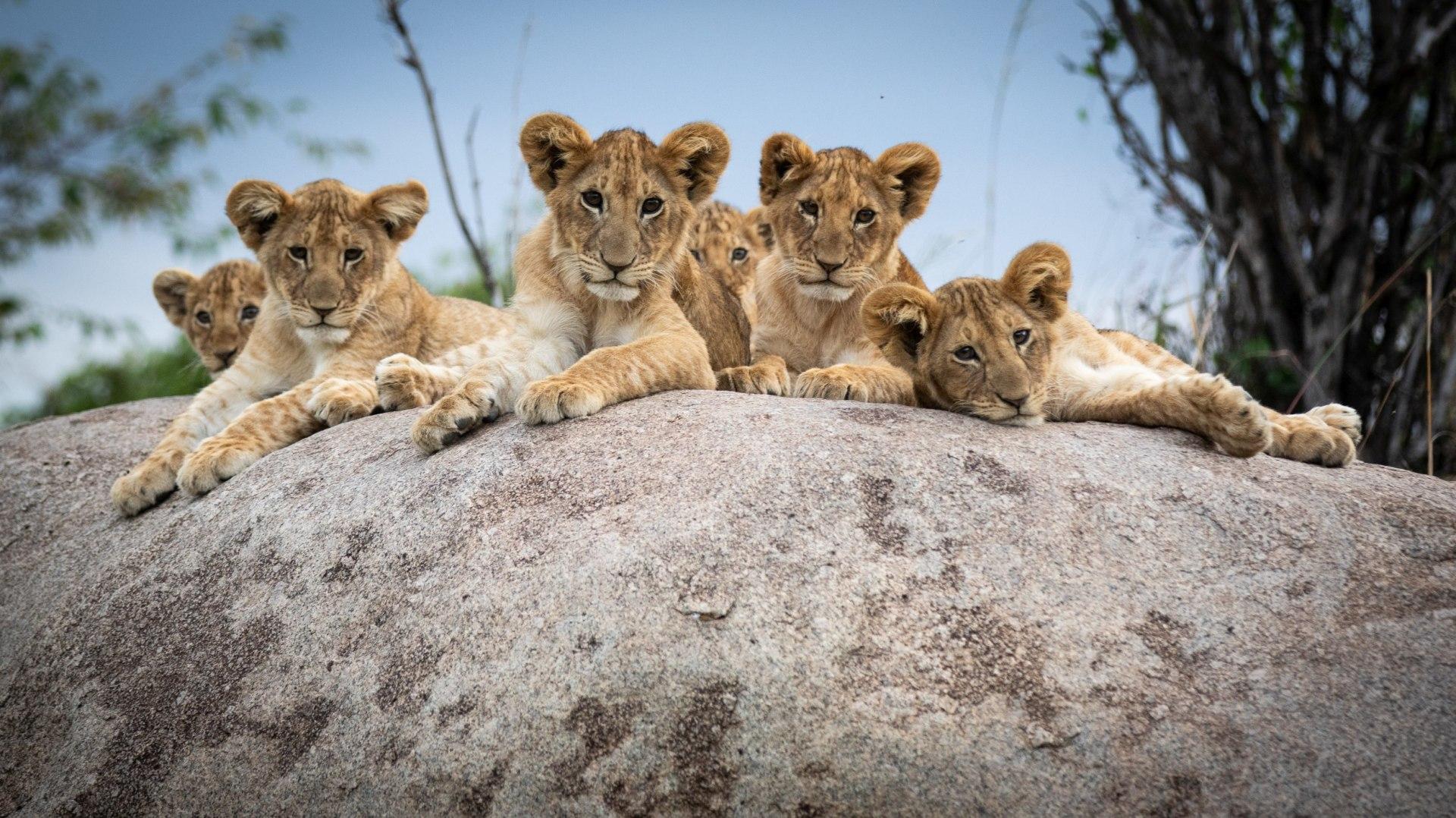 Loewen auf Fels in der Serengeti