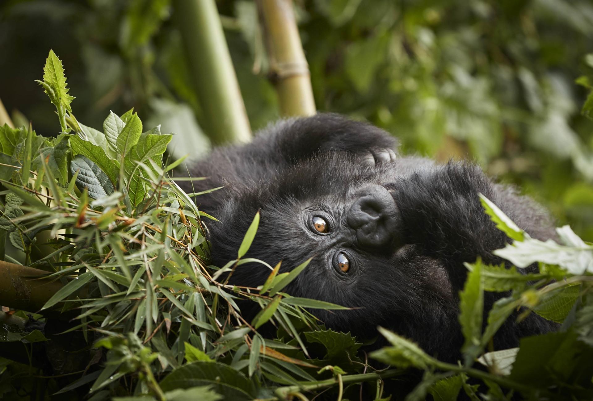 Gorilla Trekking im One&Only Gorillas Nest