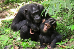 4-schimpansen-kibale-meinewelt-reisen_bearbeitet.jpg