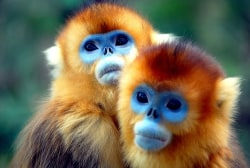7-golden-monkey-meinewelt-reisen.jpg