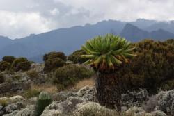 senetie-kilimanjaro